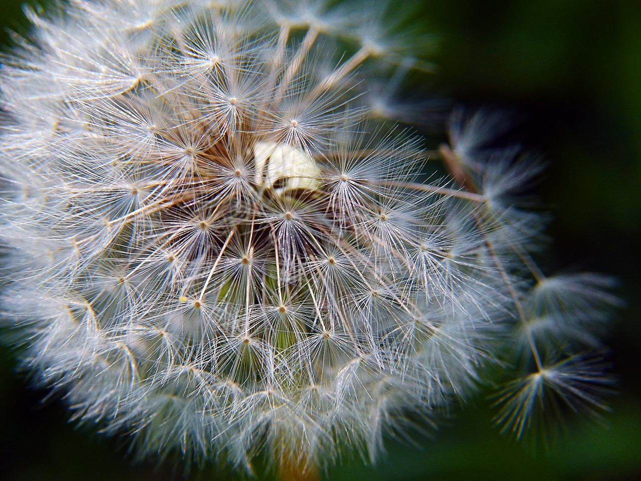 ripe fruit dandelion free photo