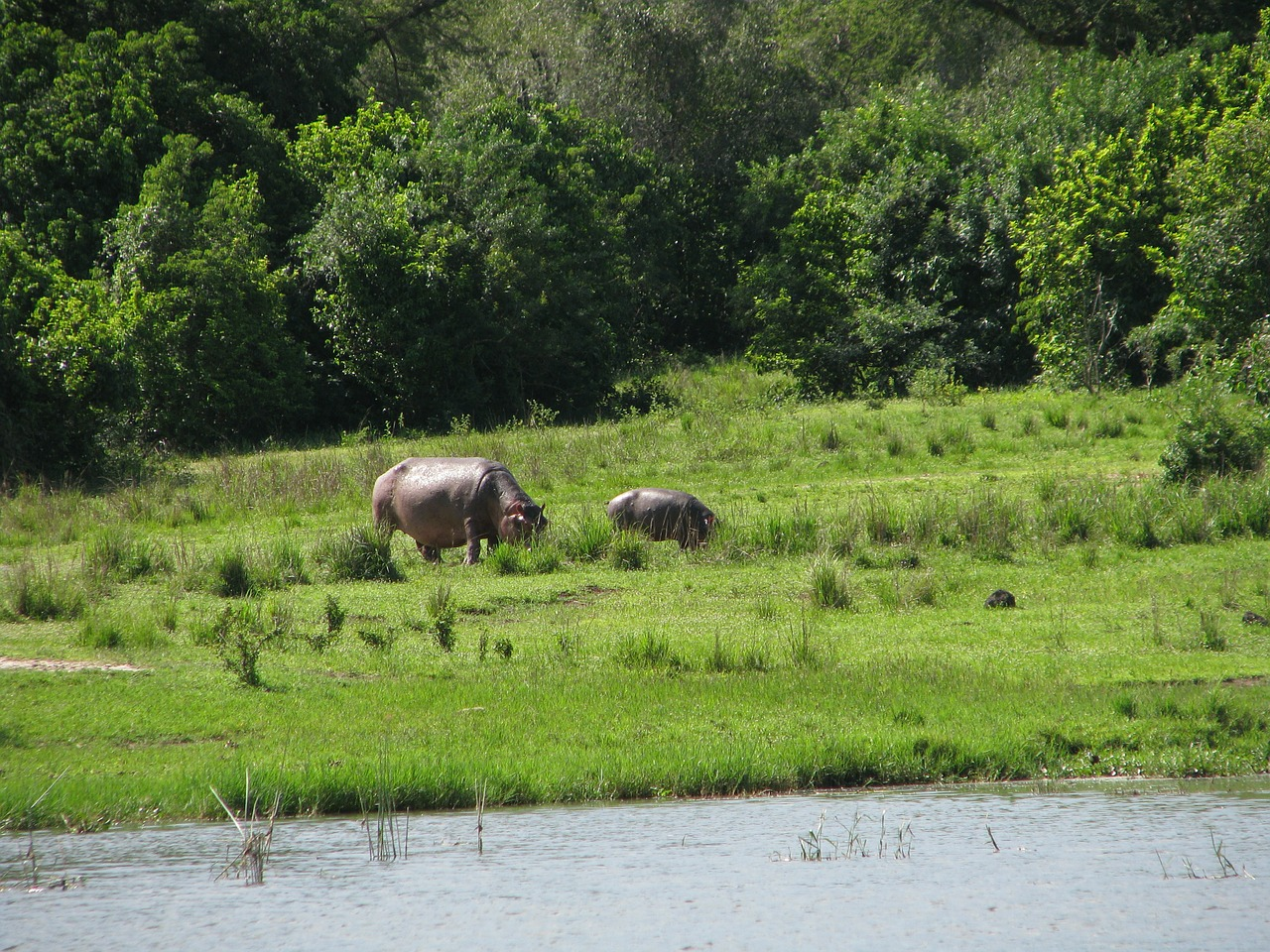 rivers greenery hippopotamus free photo
