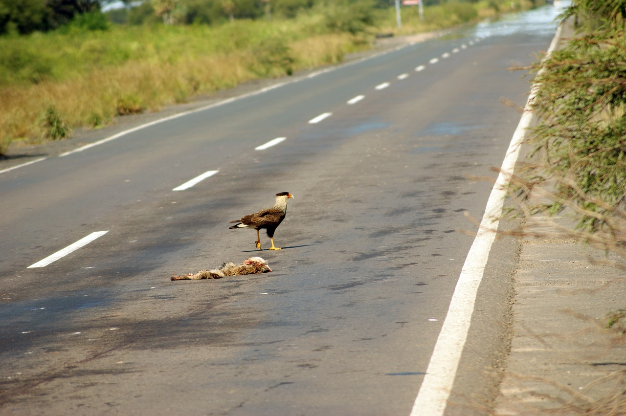 road vulture carcass free photo