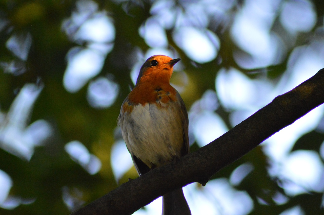 robin bird red robin free photo