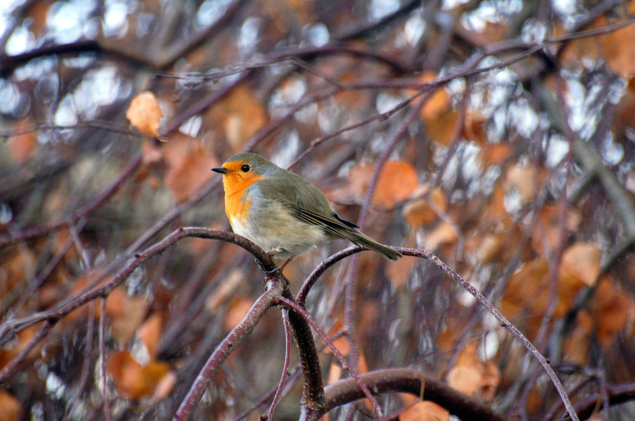 robin animals nature free photo