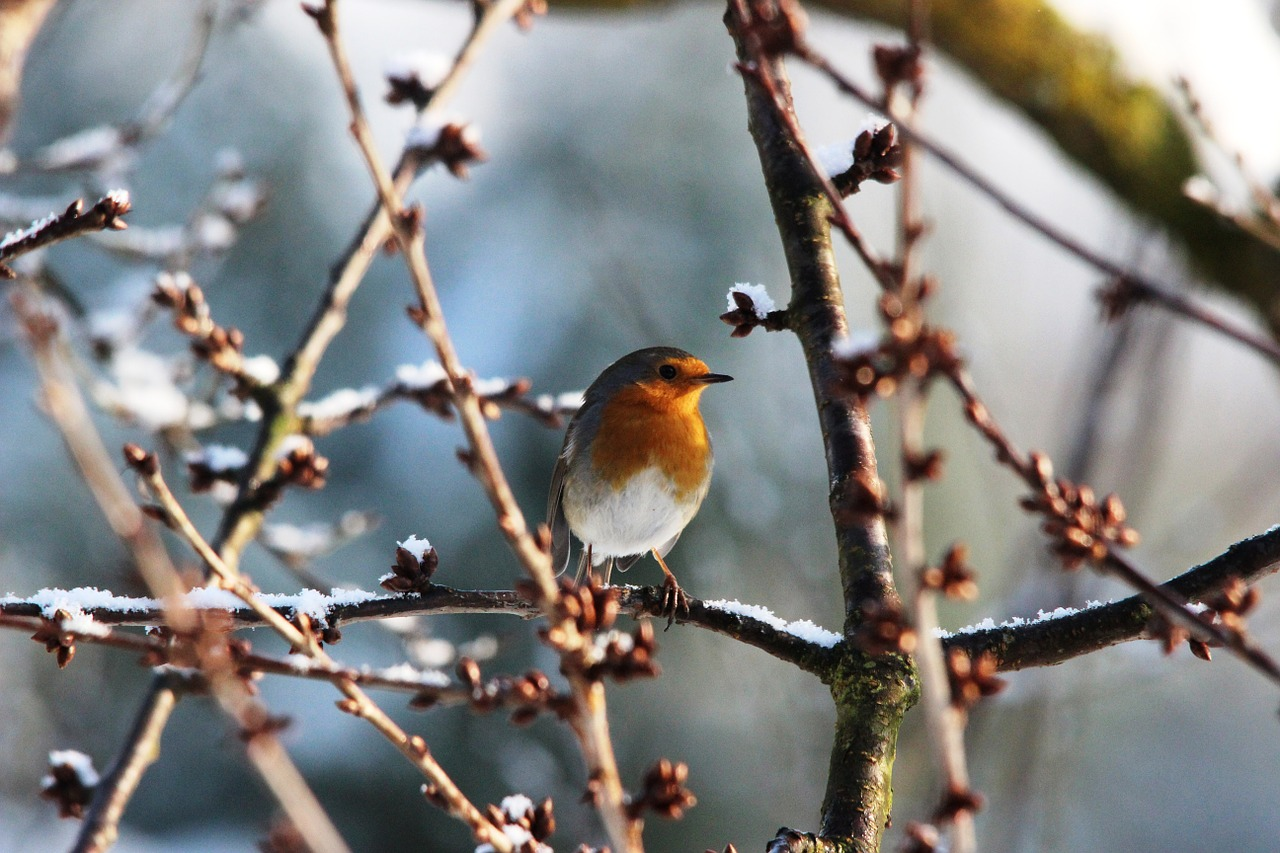 robin spring nature free photo