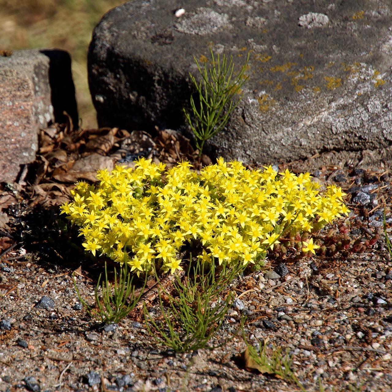 Rock floweryellow tussocksmall yellow flowersin a dry growing rock flower yellow tussock small yellow flowers mightylinksfo