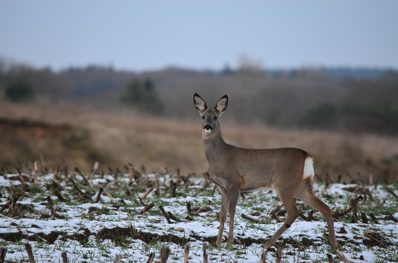 roe deer fallow deer wild free photo
