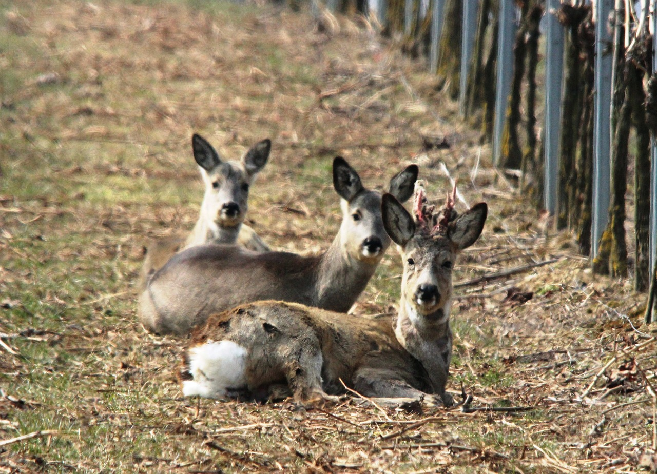 roe deer vineyard spring free photo