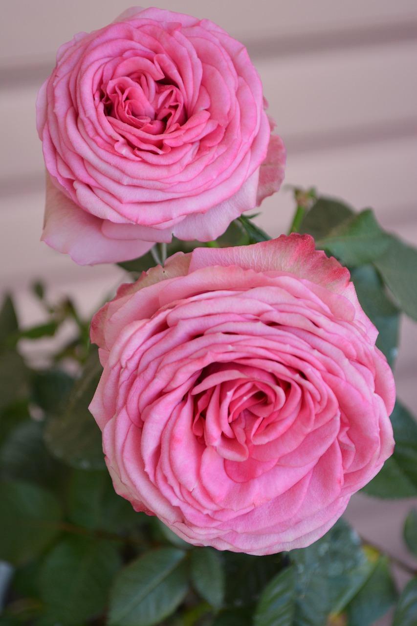 Romanticnatureroseplantbeautiful free photo from needpix romanticnatureroseplantbeautifulspringtenderflowers izmirmasajfo