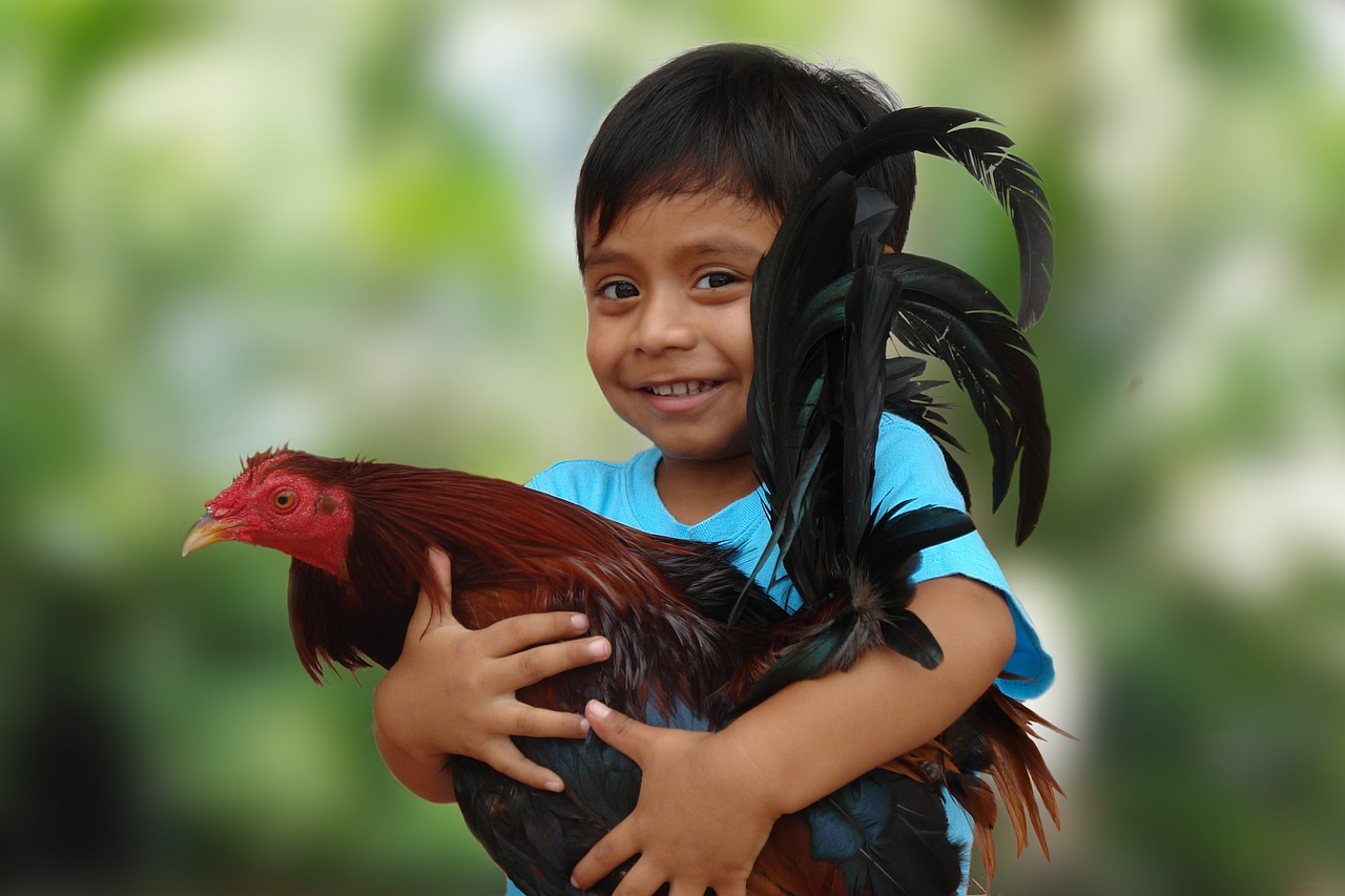 roosters child animal free photo