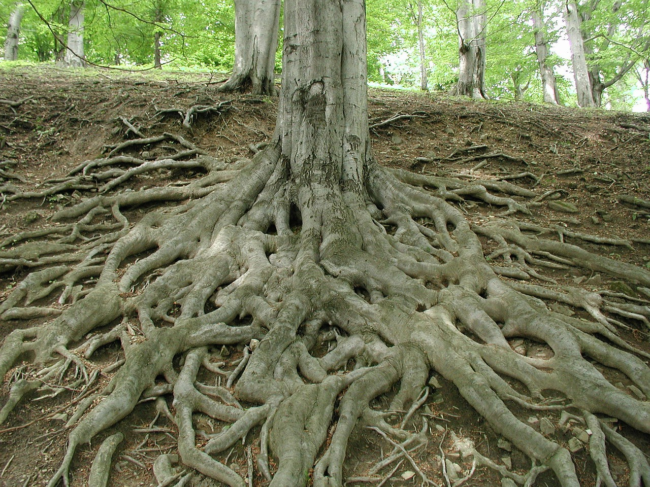root log tree free picture