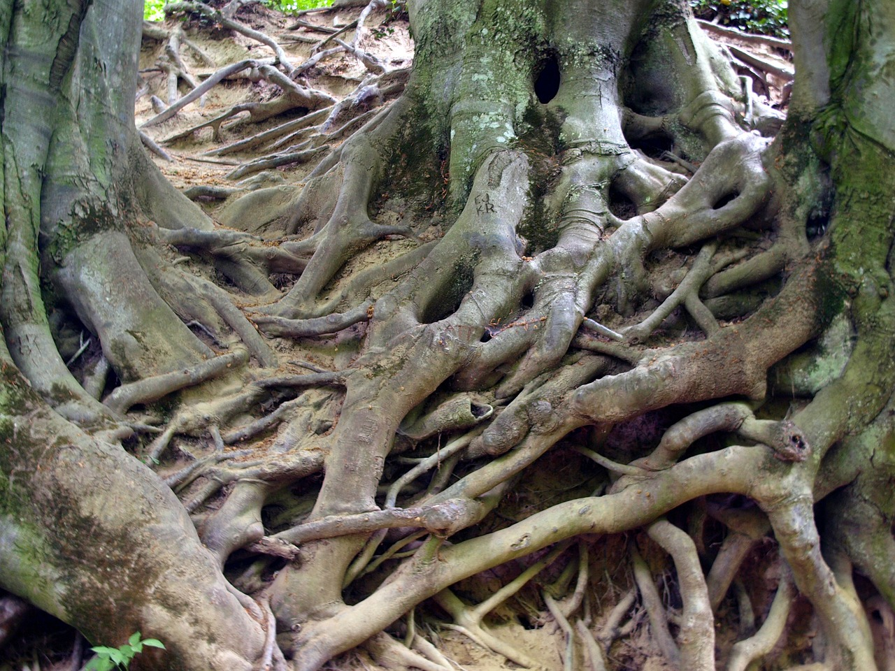 roots,tree,nature,free pictures, free photos, free images, royalty free, free illustrations, public domain