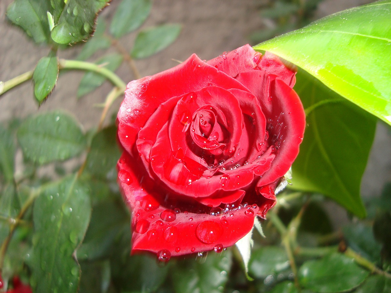 rosa red flower free photo
