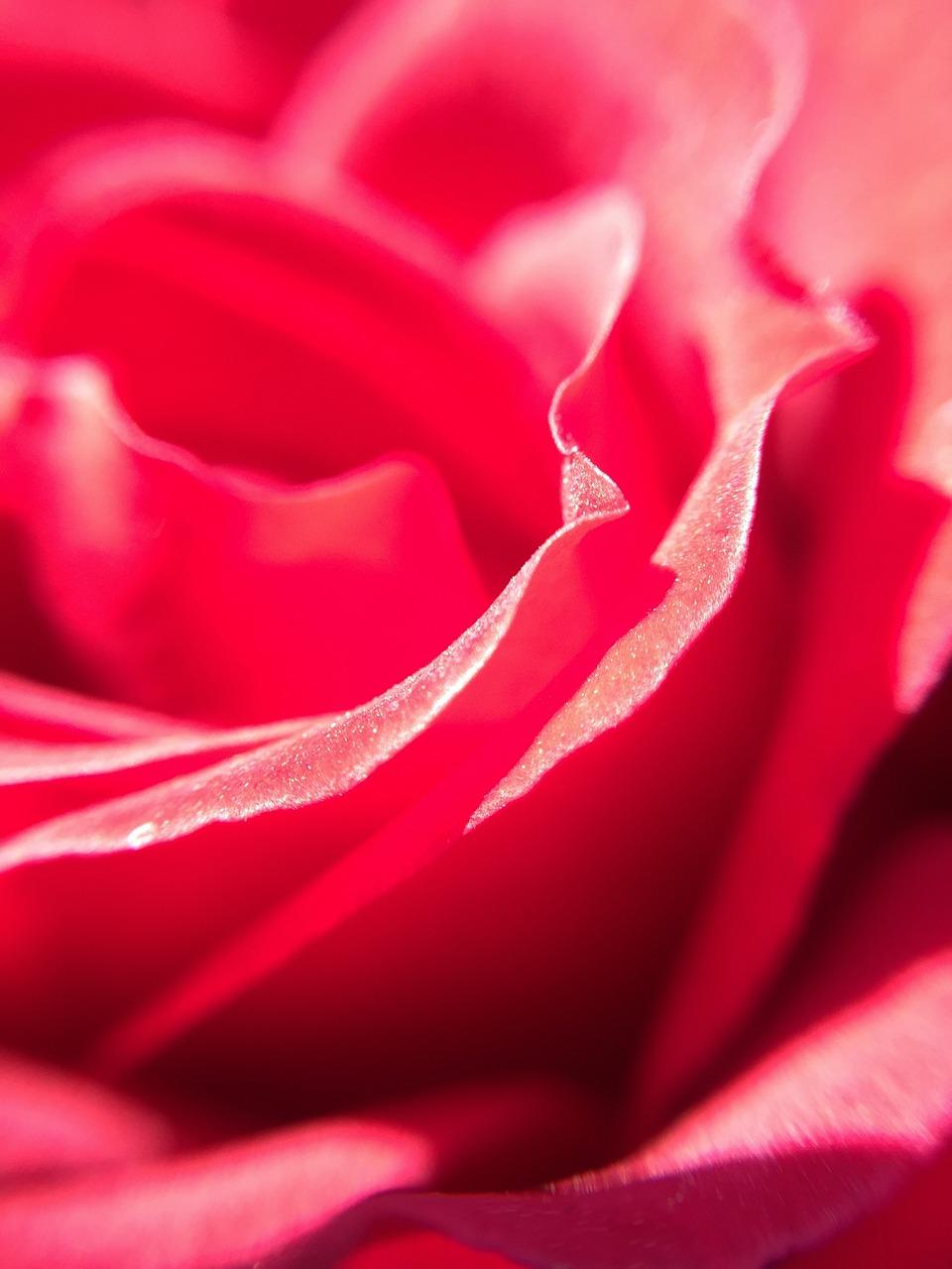 Rosaredbeautifulred Roseflower Free Photo From Needpix
