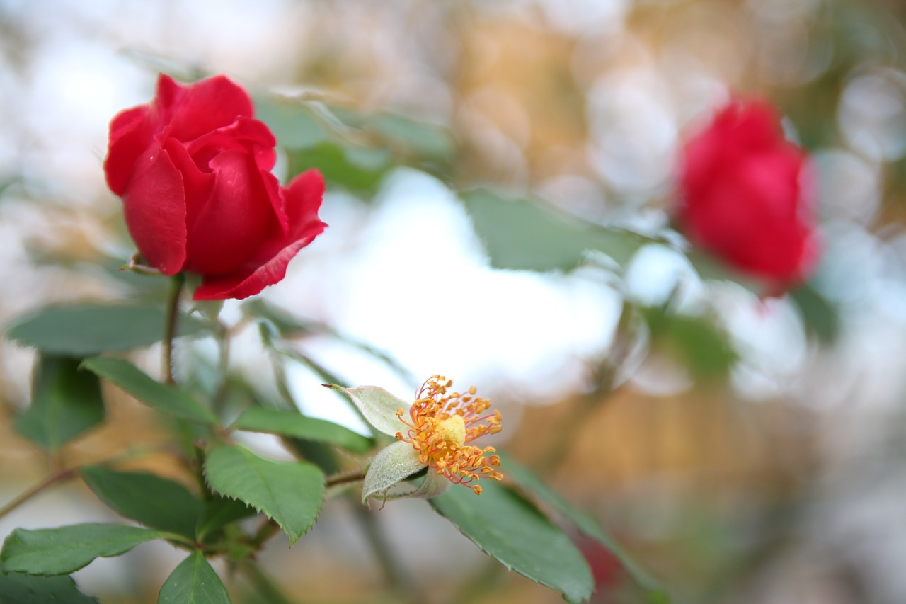 Rosered rosesflowersredbeautiful free photo from needpix rosered rosesflowersredbeautifulplantsnature izmirmasajfo