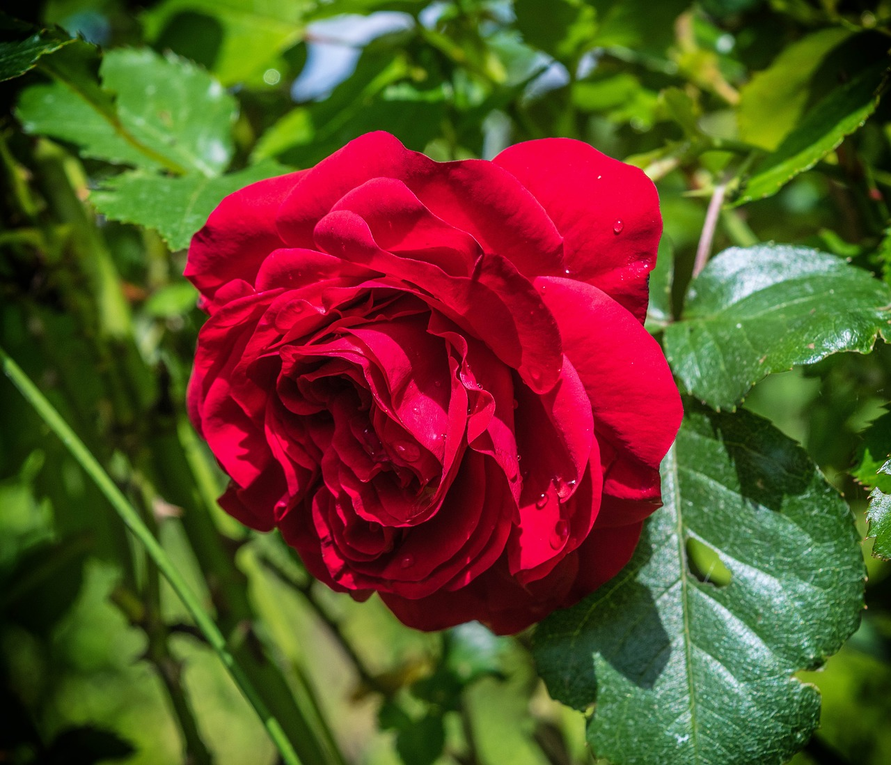 Roseredloverose bloomromance free photo from needpix roseredloverose bloomromancefragrancebeautybeautiful izmirmasajfo