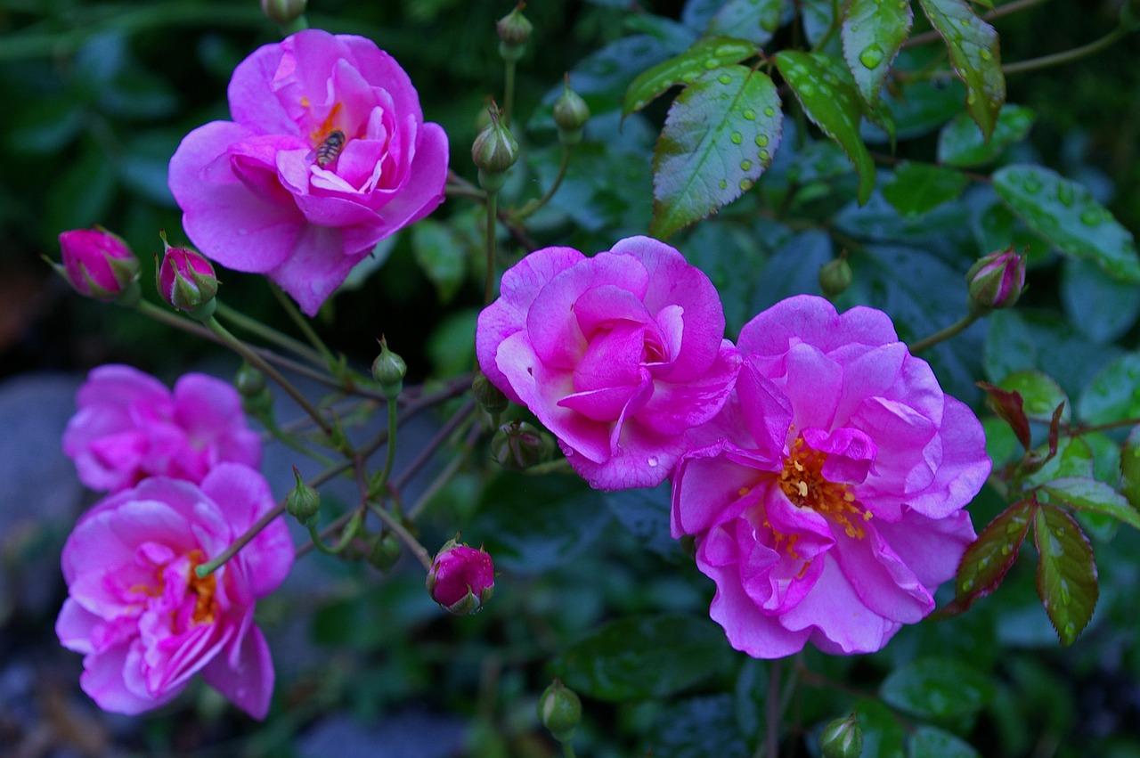 Rosepink rosescented roserose gardenblossom free photo from rose pink rose scented rose mightylinksfo