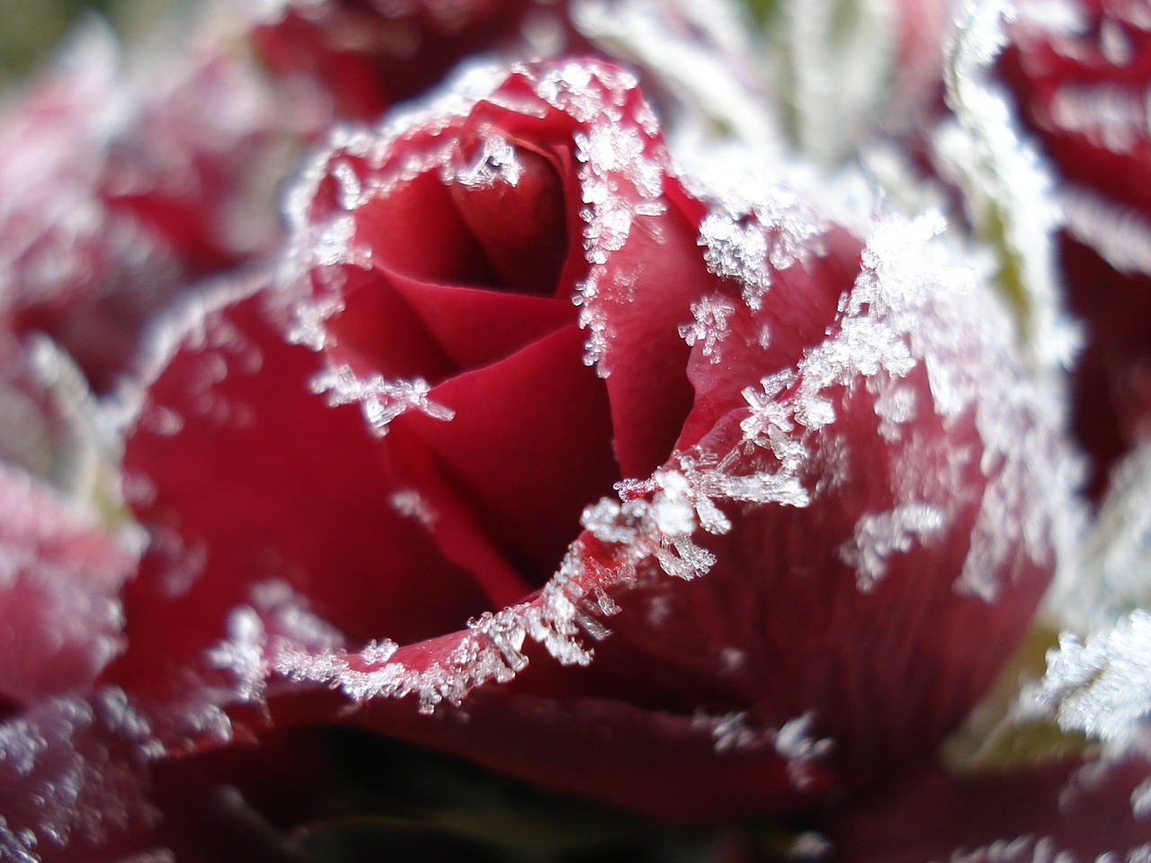 rose ice frozen free photo