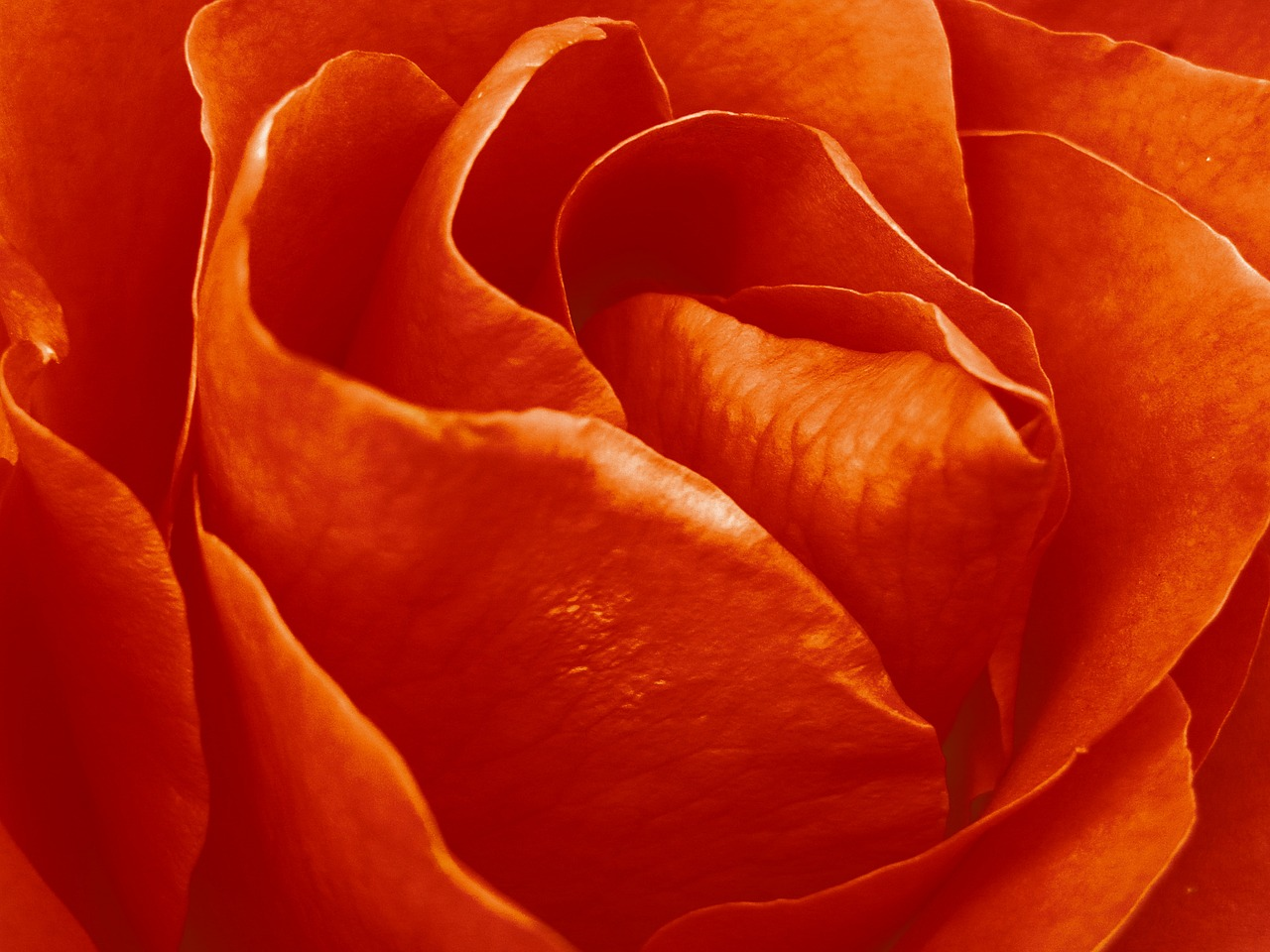 Roseflowersflowernaturewallpaper Free Image From