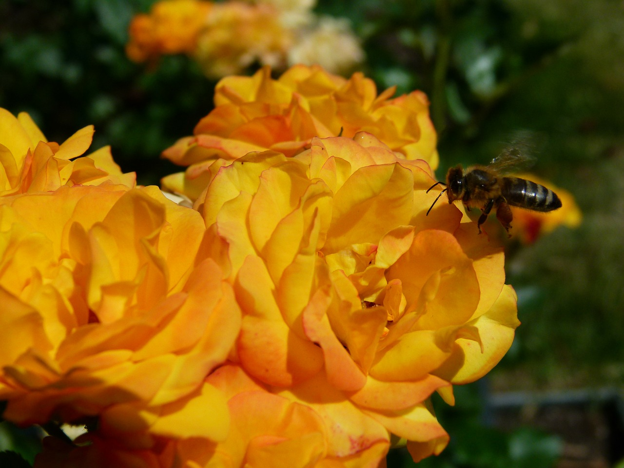 rose yellow bee free photo