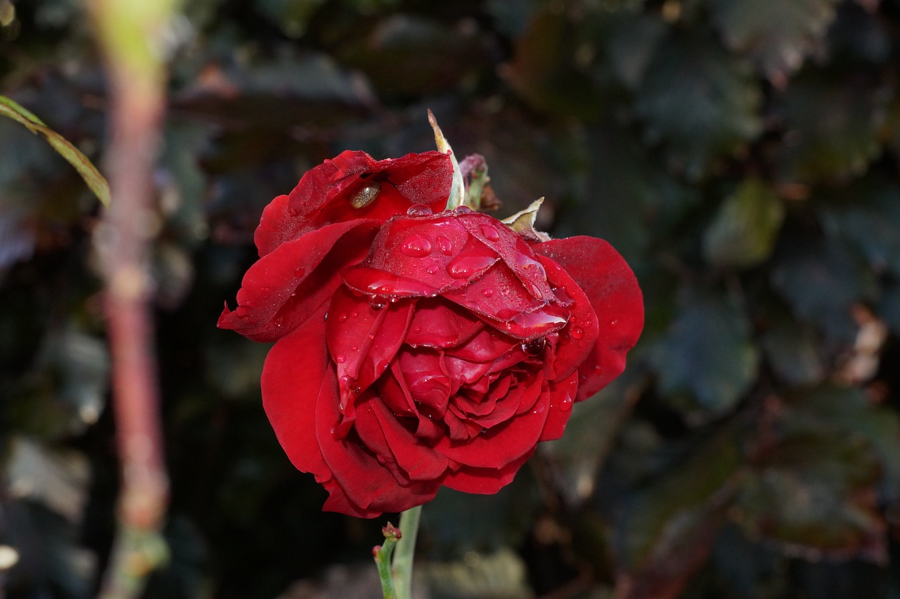rose red plant free photo