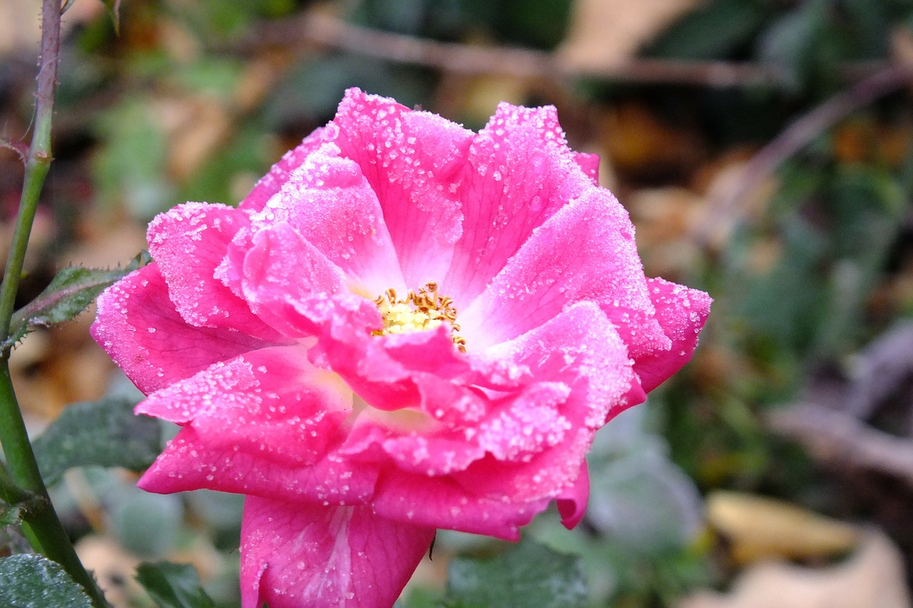 rose frost pink free photo