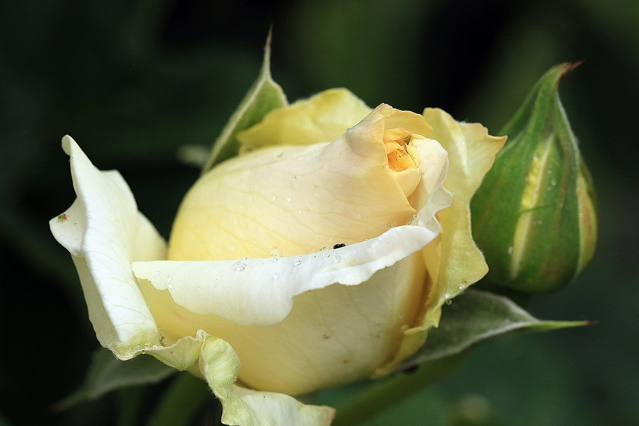 rose yellow rose rosebud free photo