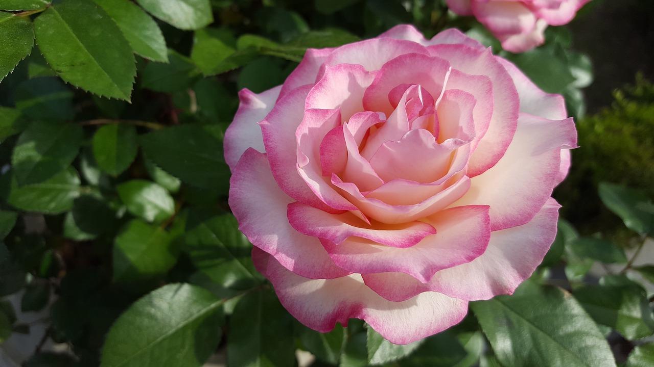 Rosepinkbeautifulnatureplants Free Photo From Needpix