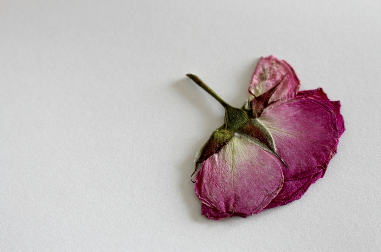 Rose,dry flower,blossom,bloom,macro - free image from needpix.com