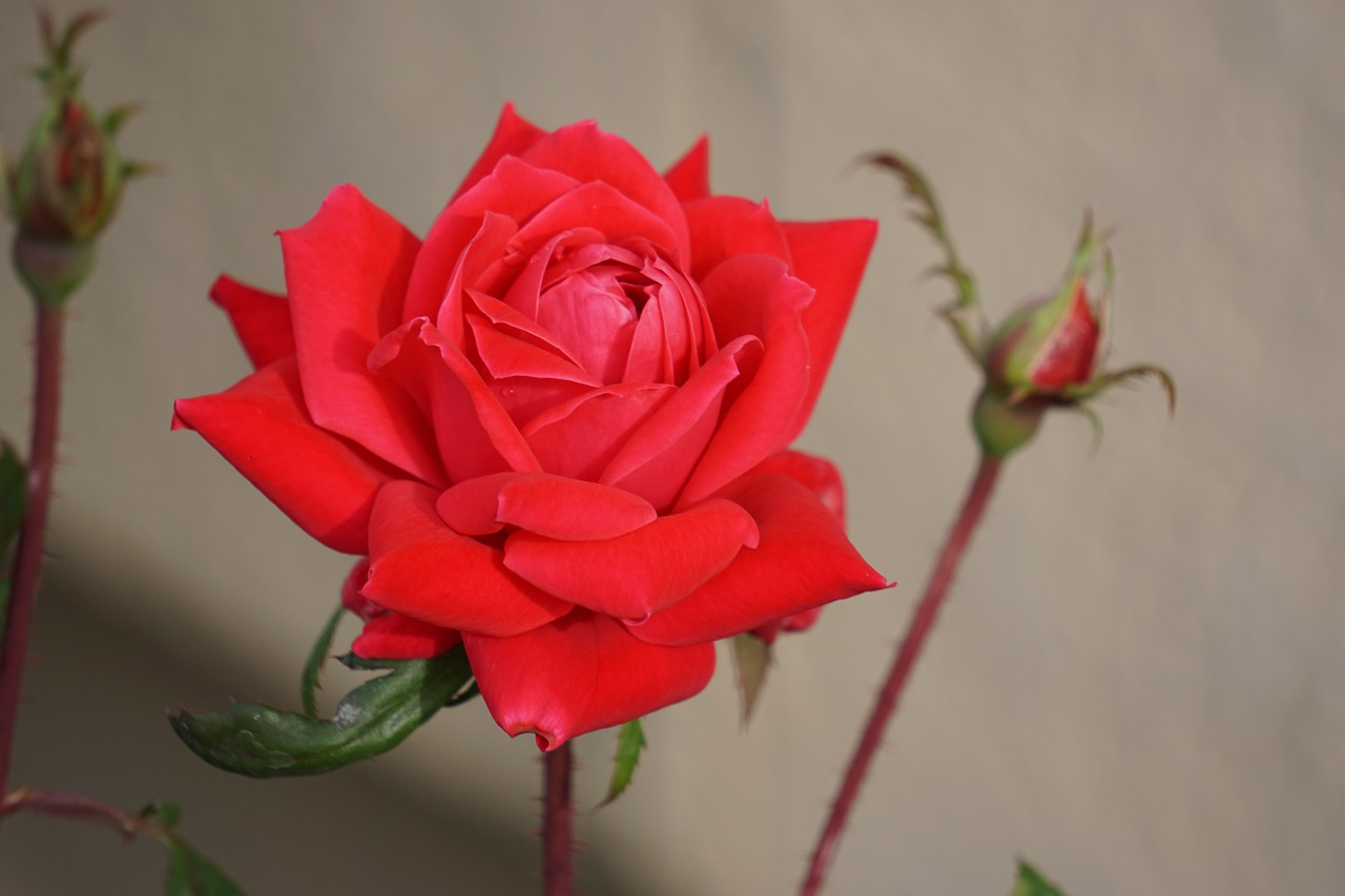 rose flower red free picture