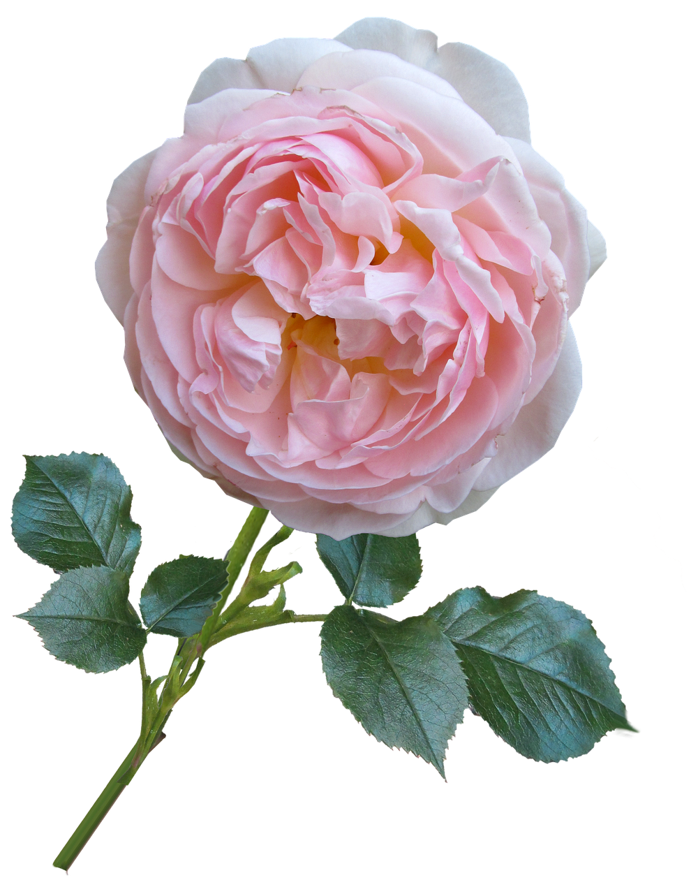 rose,pink,david austin,flower,free pictures, free photos, free images, royalty free, free illustrations, public domain