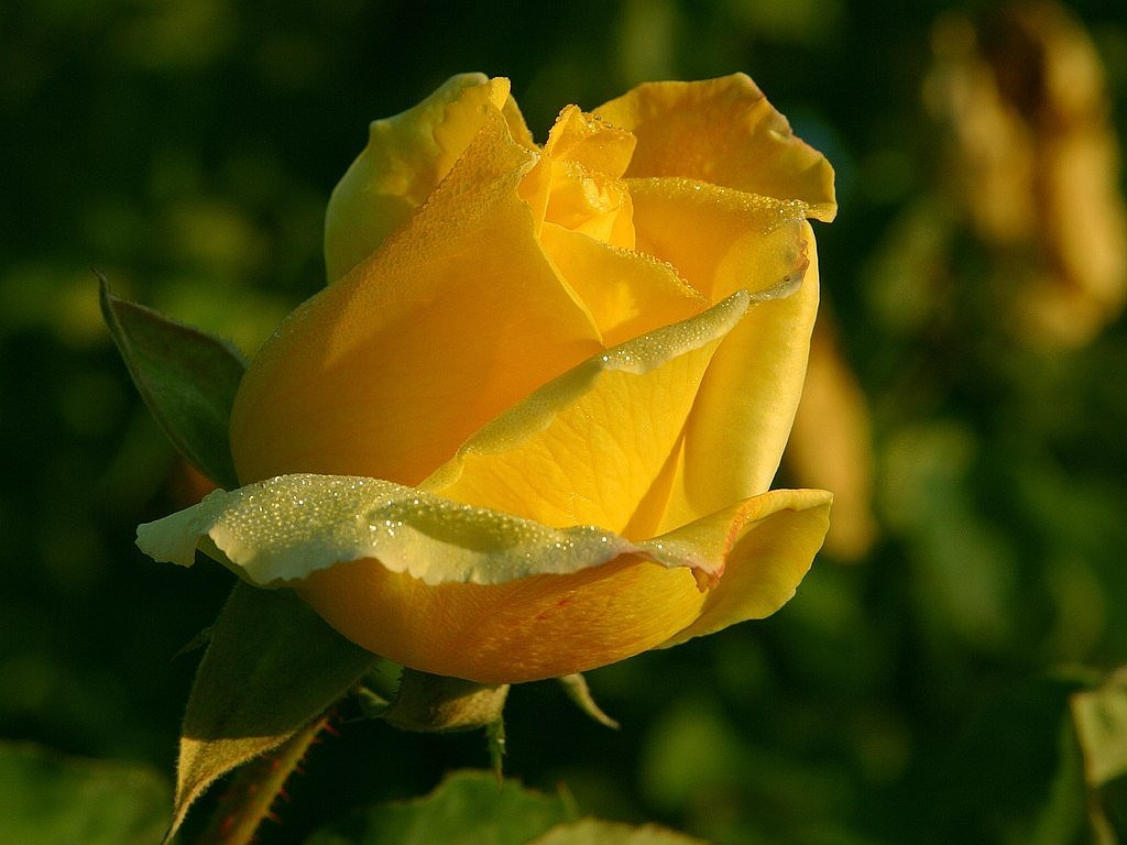 rose yellow flower free picture