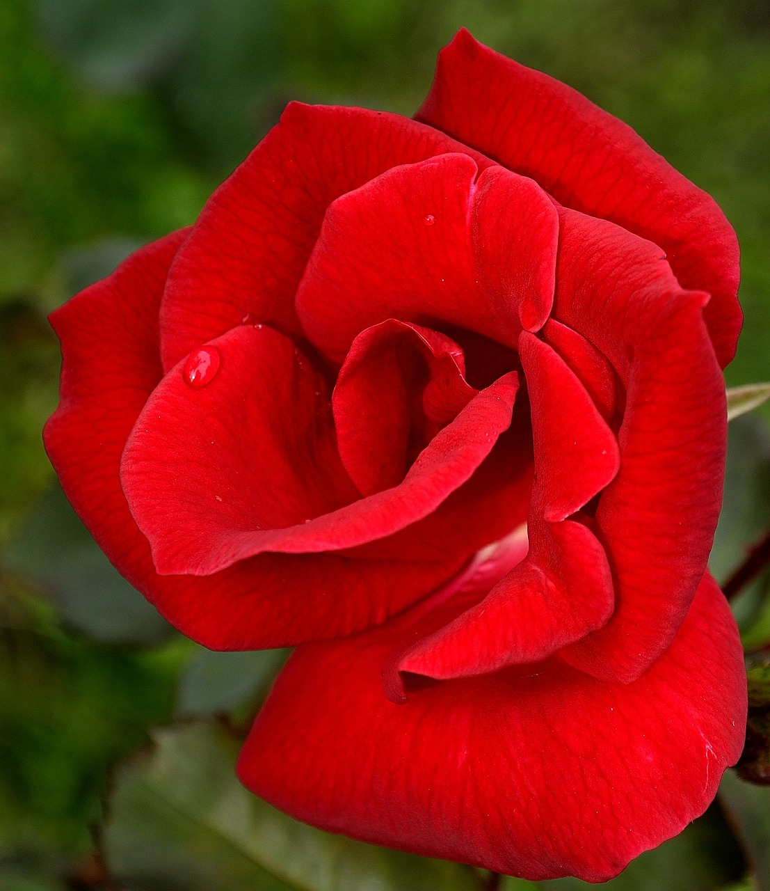 rose red flower free photo