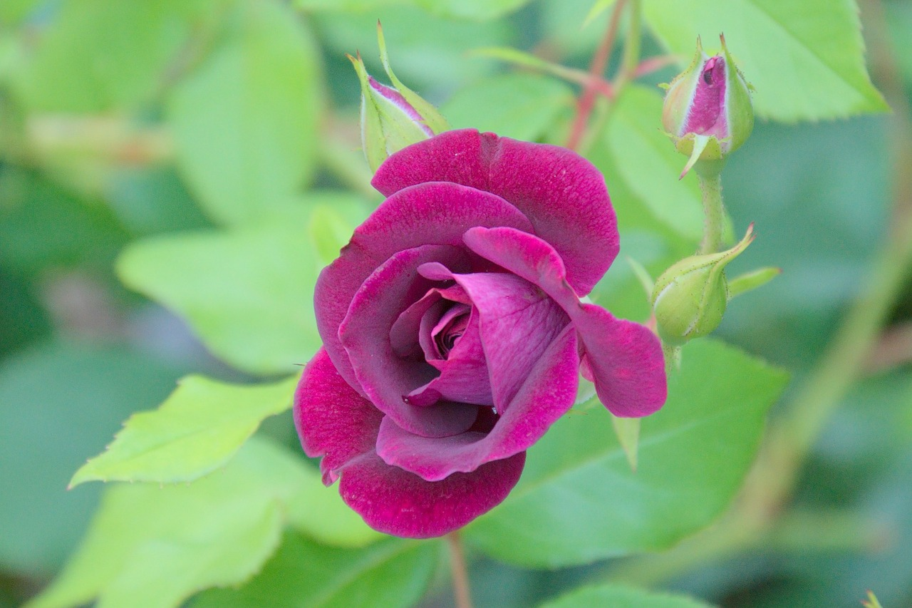 rose green purple free photo