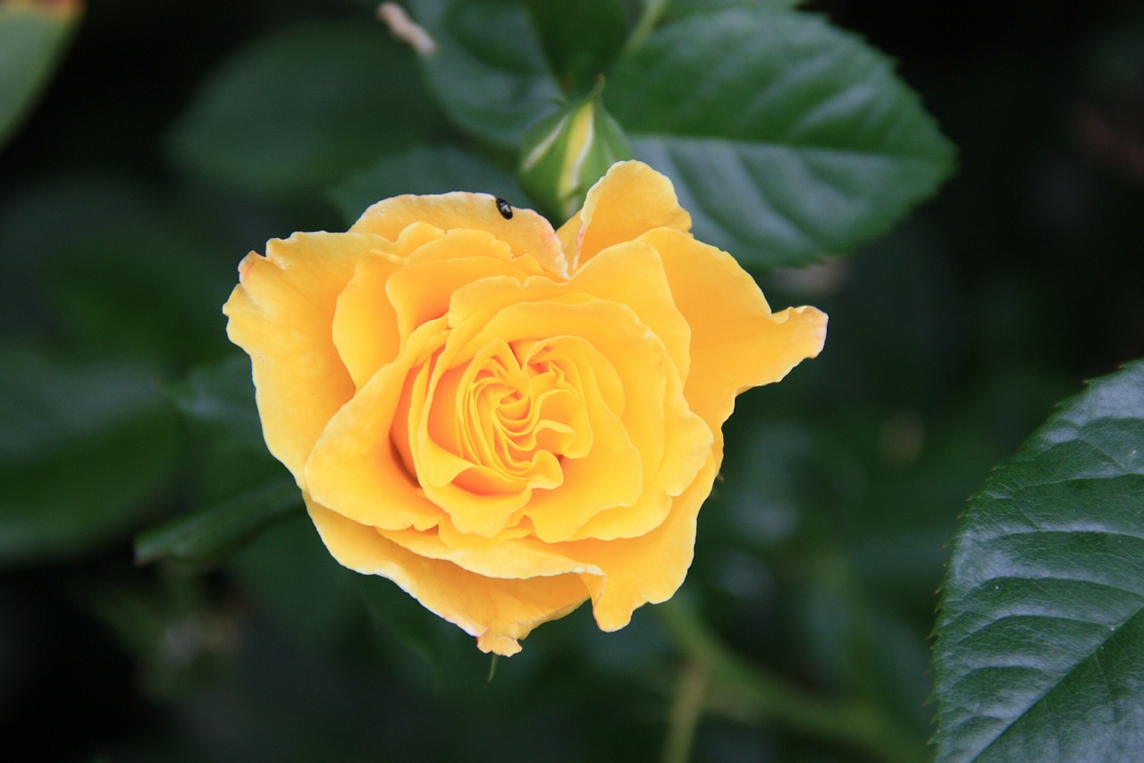 rose yellow blossom free photo
