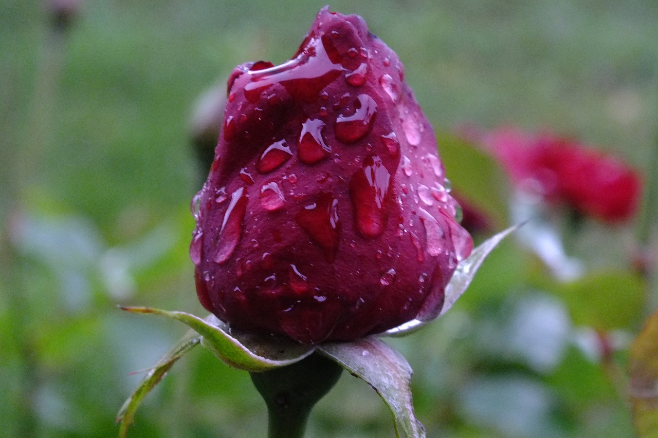 rose,drip,beaded,free pictures, free photos, free images, royalty free, free illustrations