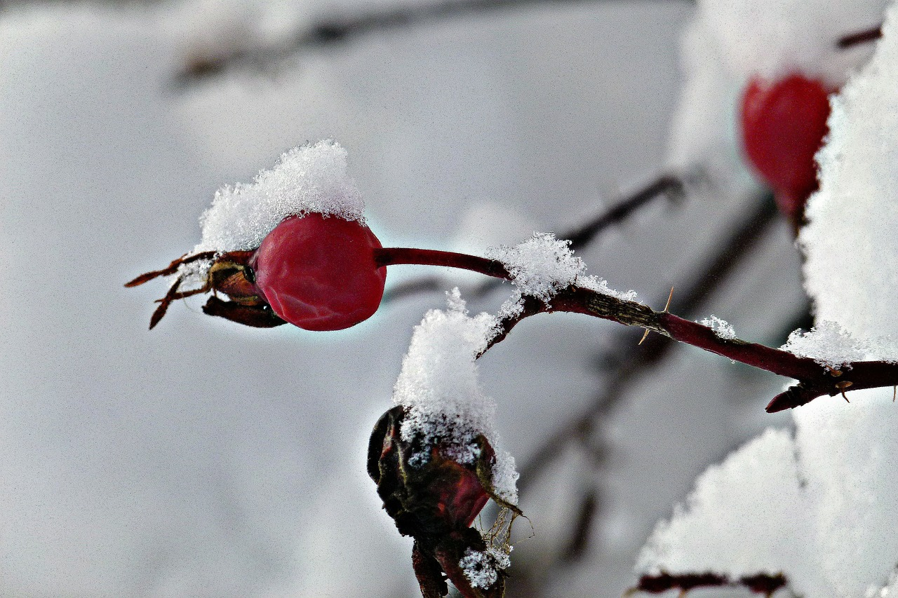 rose hip wintry free photo