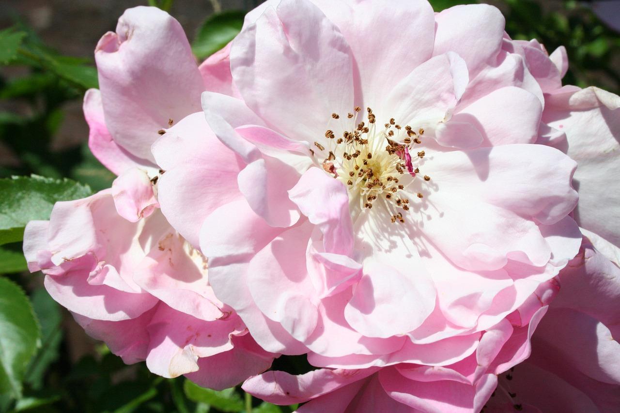 Roseflowerpetalsrose Bloomsmacro Free Photo From Needpix