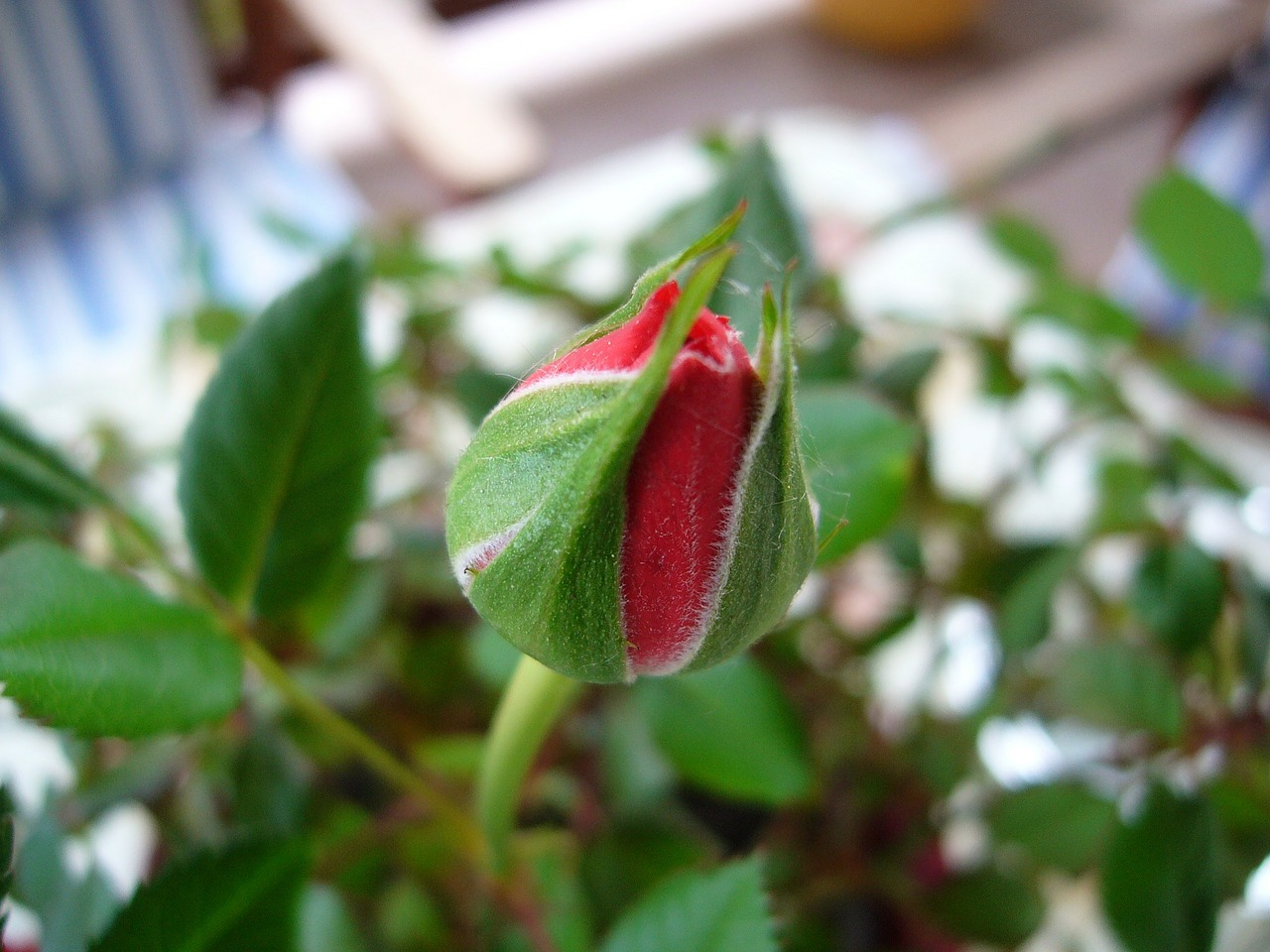 rose red flower buds free photo