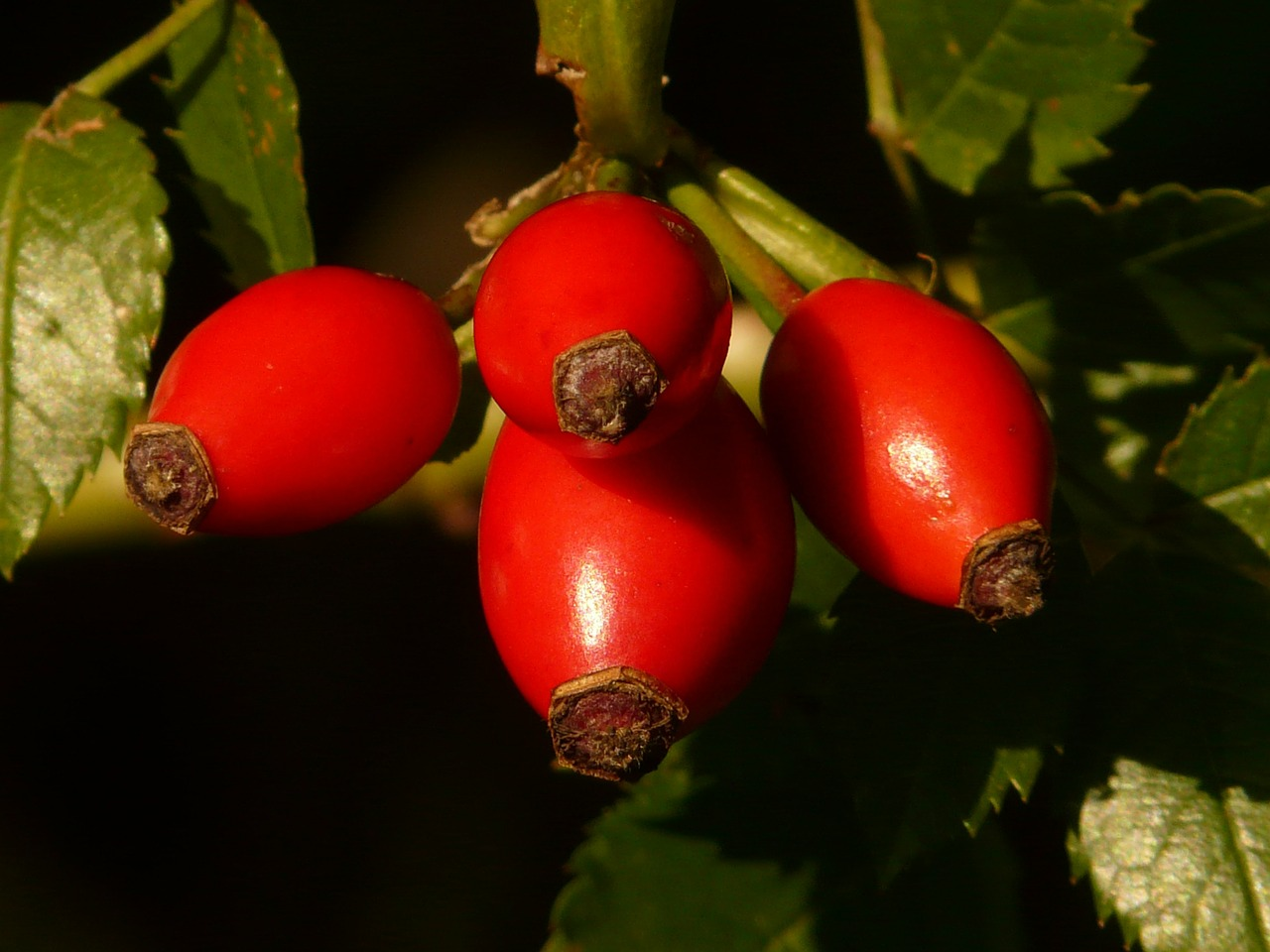 rose hip fruit sammelfrucht free photo