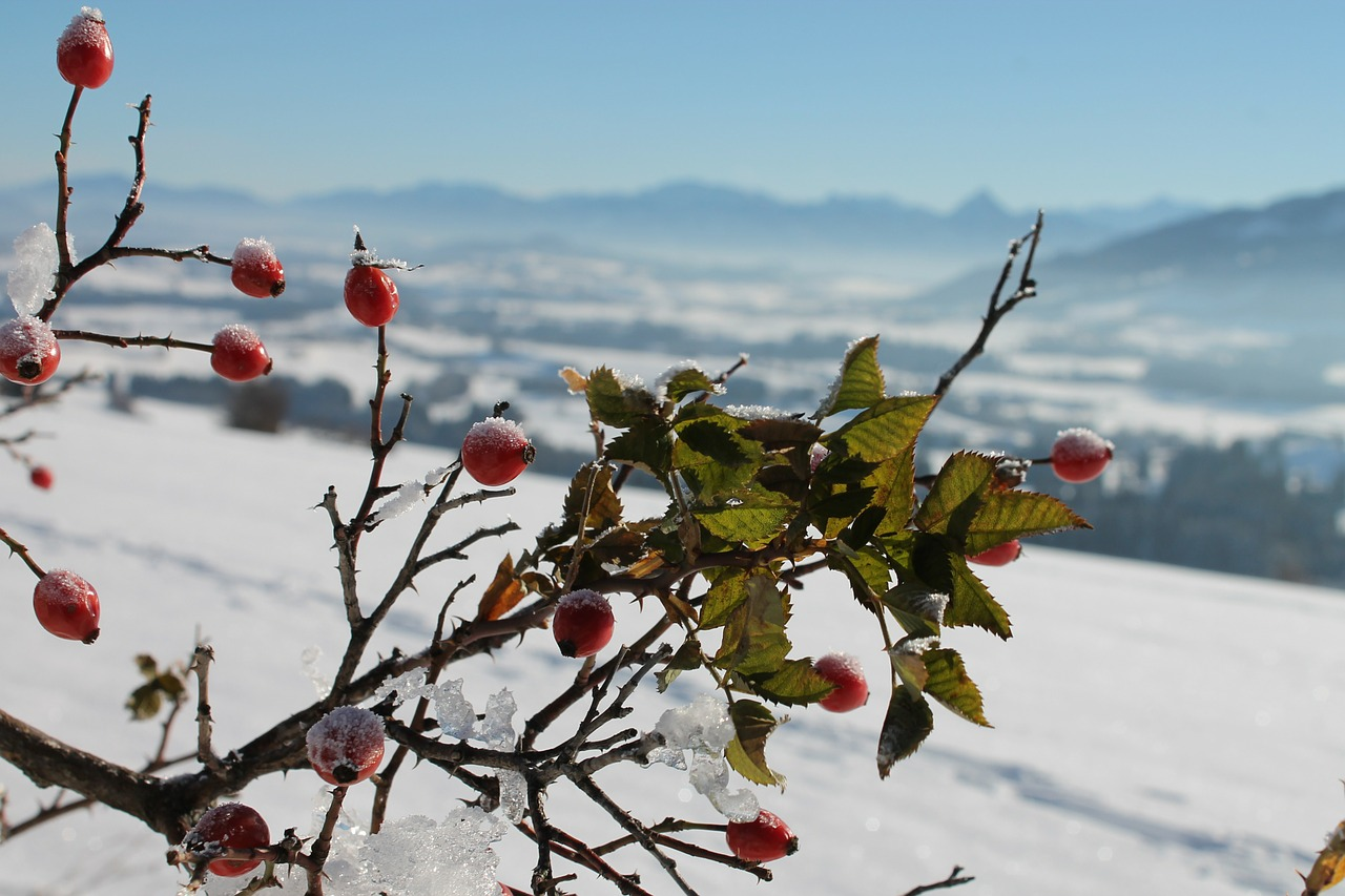 rose hip frozen wild rose bush free photo