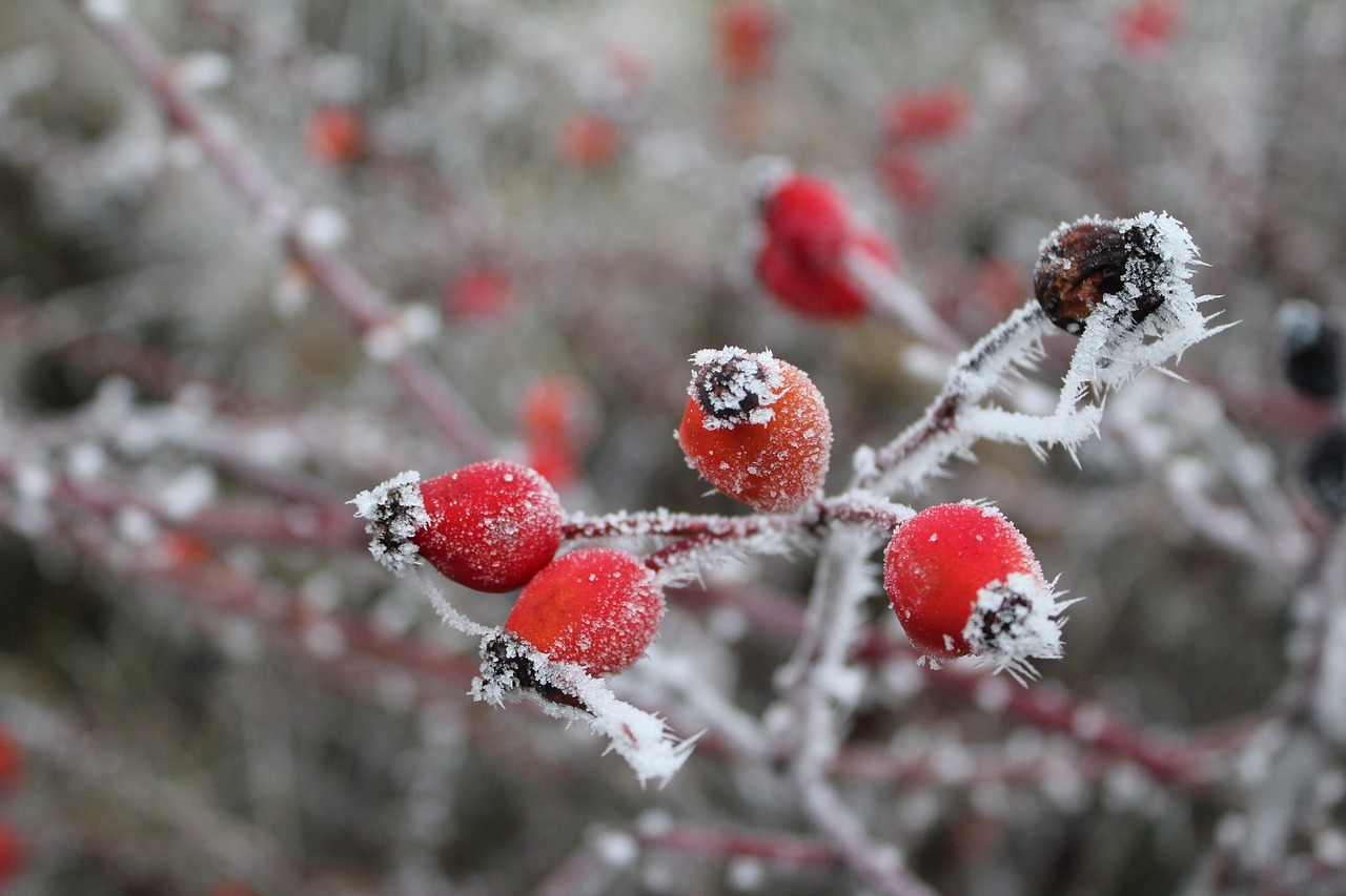 rose hip gefrohren winter free photo