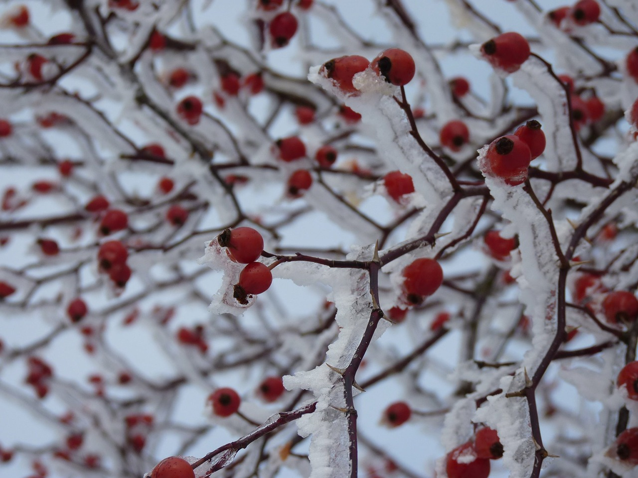 rose hip iced snow free photo