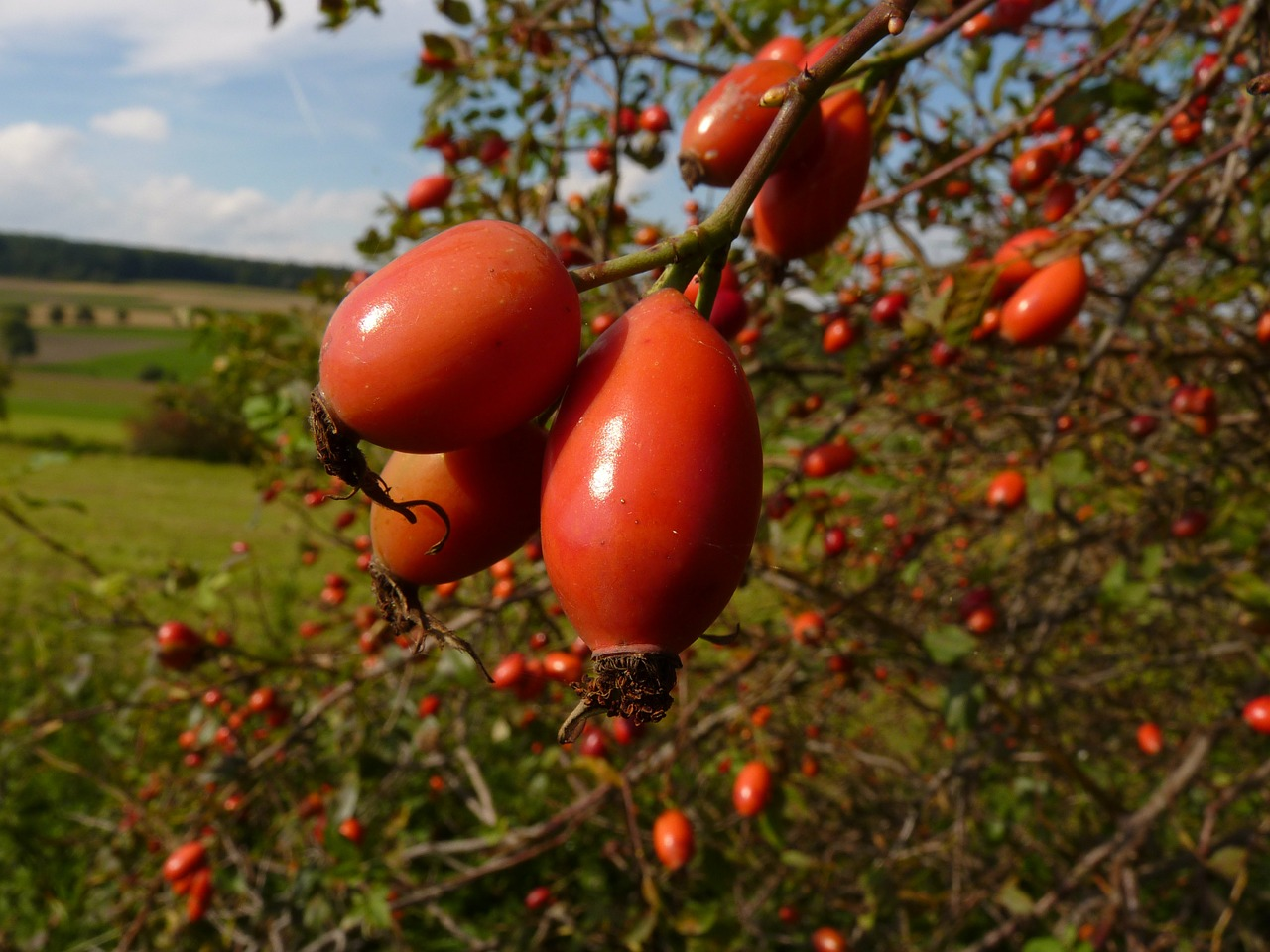 rose hip red thorn free photo