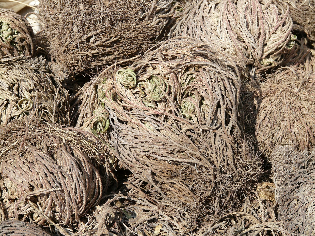 rose of jericho anastatica hierochuntica desert rose free photo