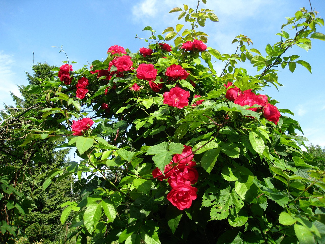 rose trellis roses red sky blue free photo