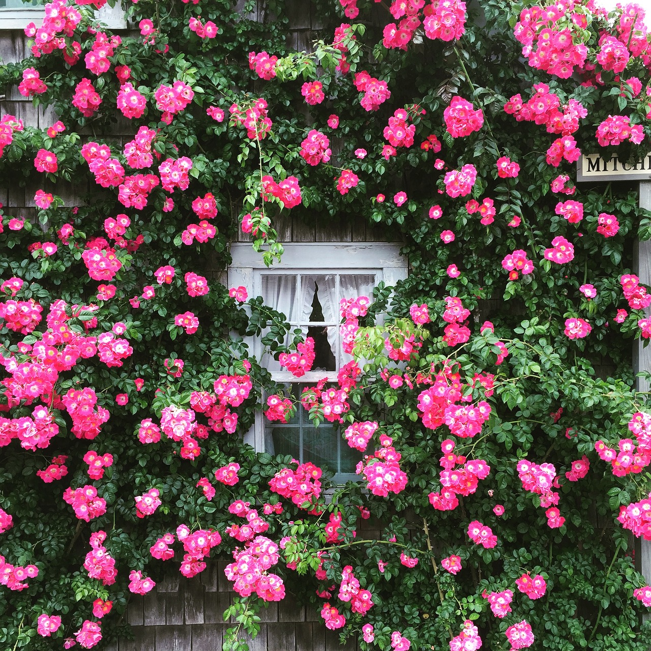 roses cottage window free photo