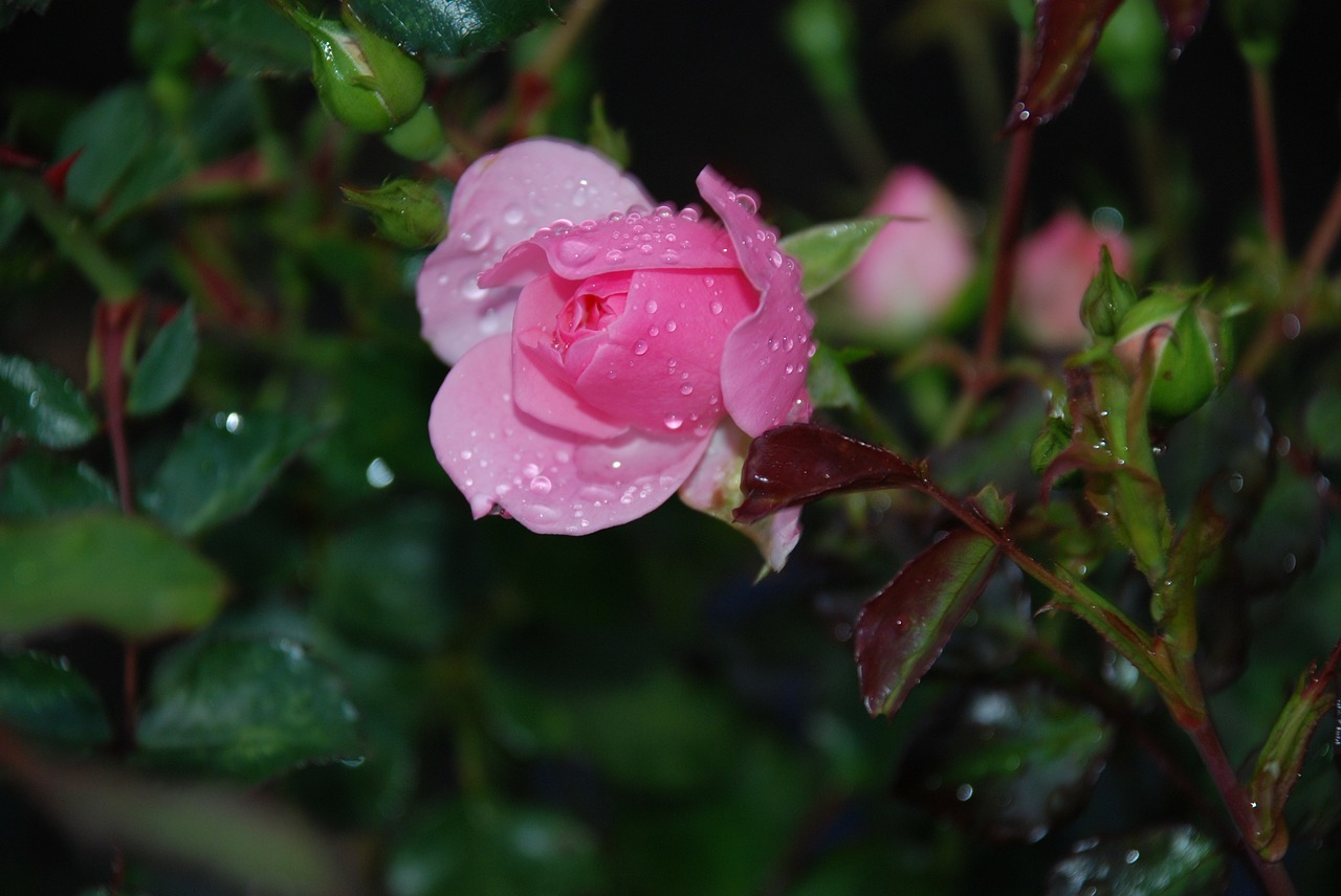 roses pink dew free picture
