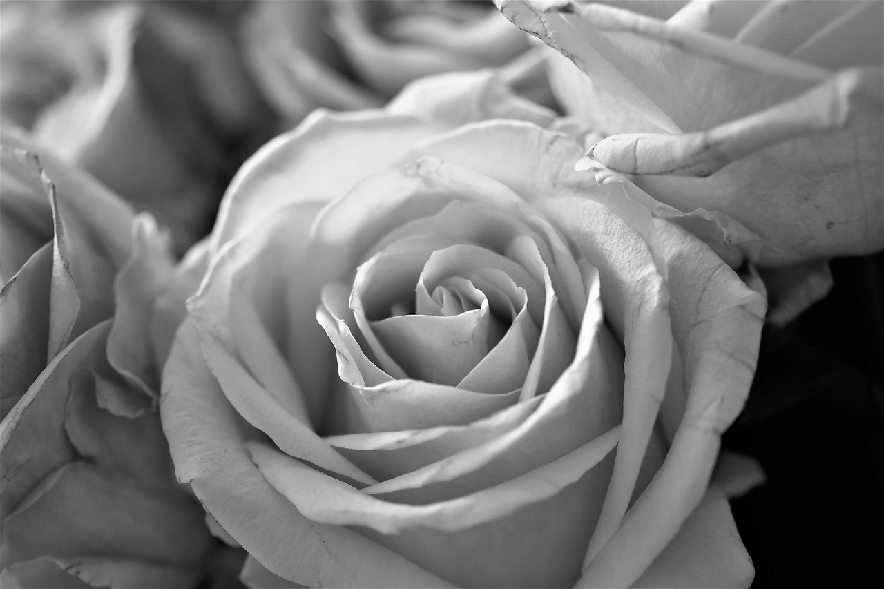 roses,flowers,bloom,flower,plant,black - and-white,close,white,black,black and white recording,flowers photography,black and white photo,petals,nature,free pictures, free photos, free images, royalty free, free illustrations