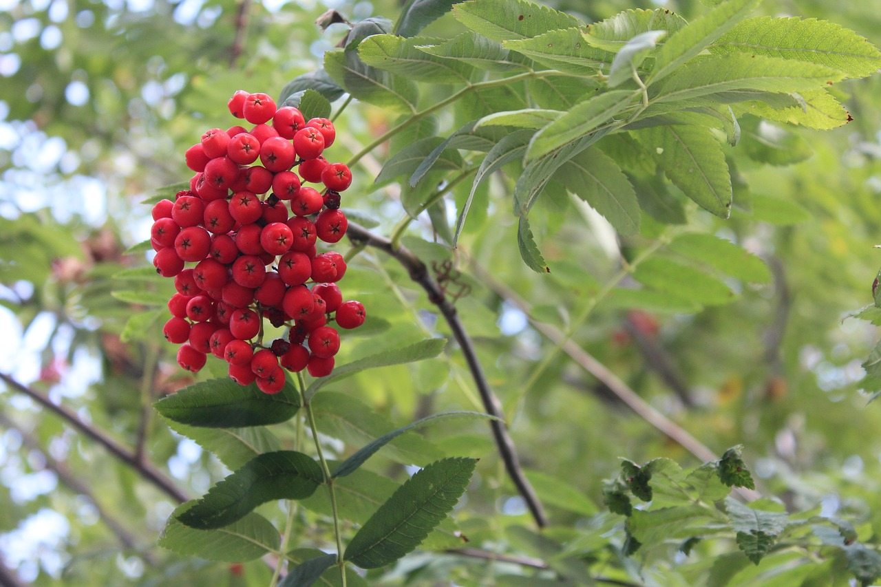 rowan tree plant free photo