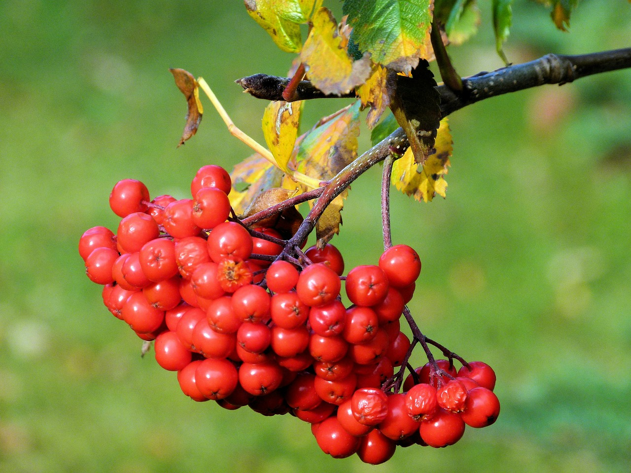 rowan berries organic free photo