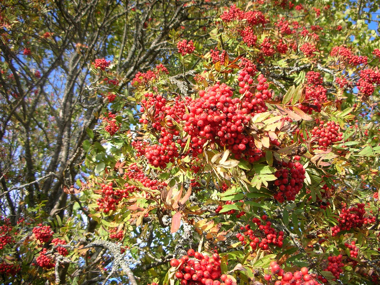 Rowan Tree Red Berries Branches Autumn Free Image From Needpix Com