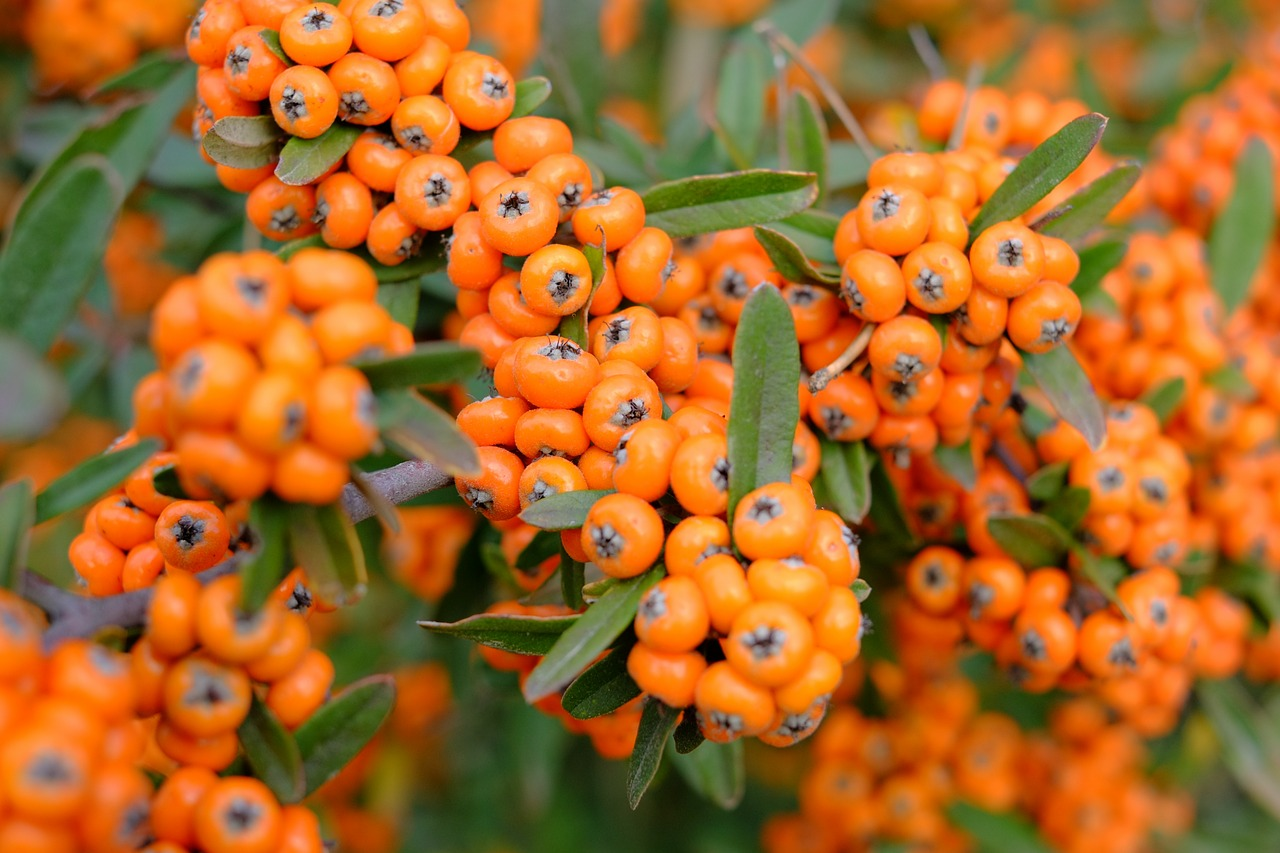 rowan berries berry orange free picture